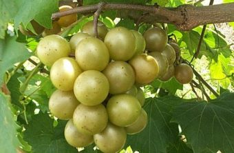 The muscadines…are almost ready!!!!